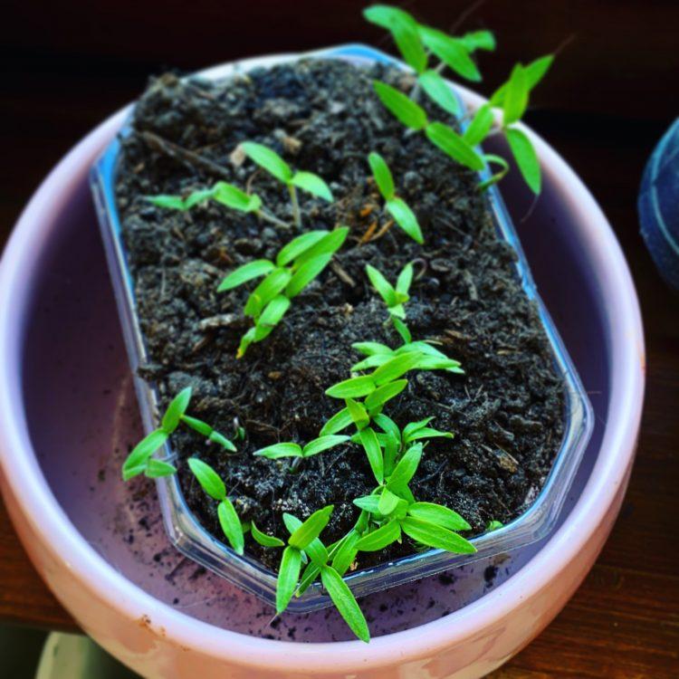 Tomaten züchten Tomatenkeimlinge Tomatenpflanzen