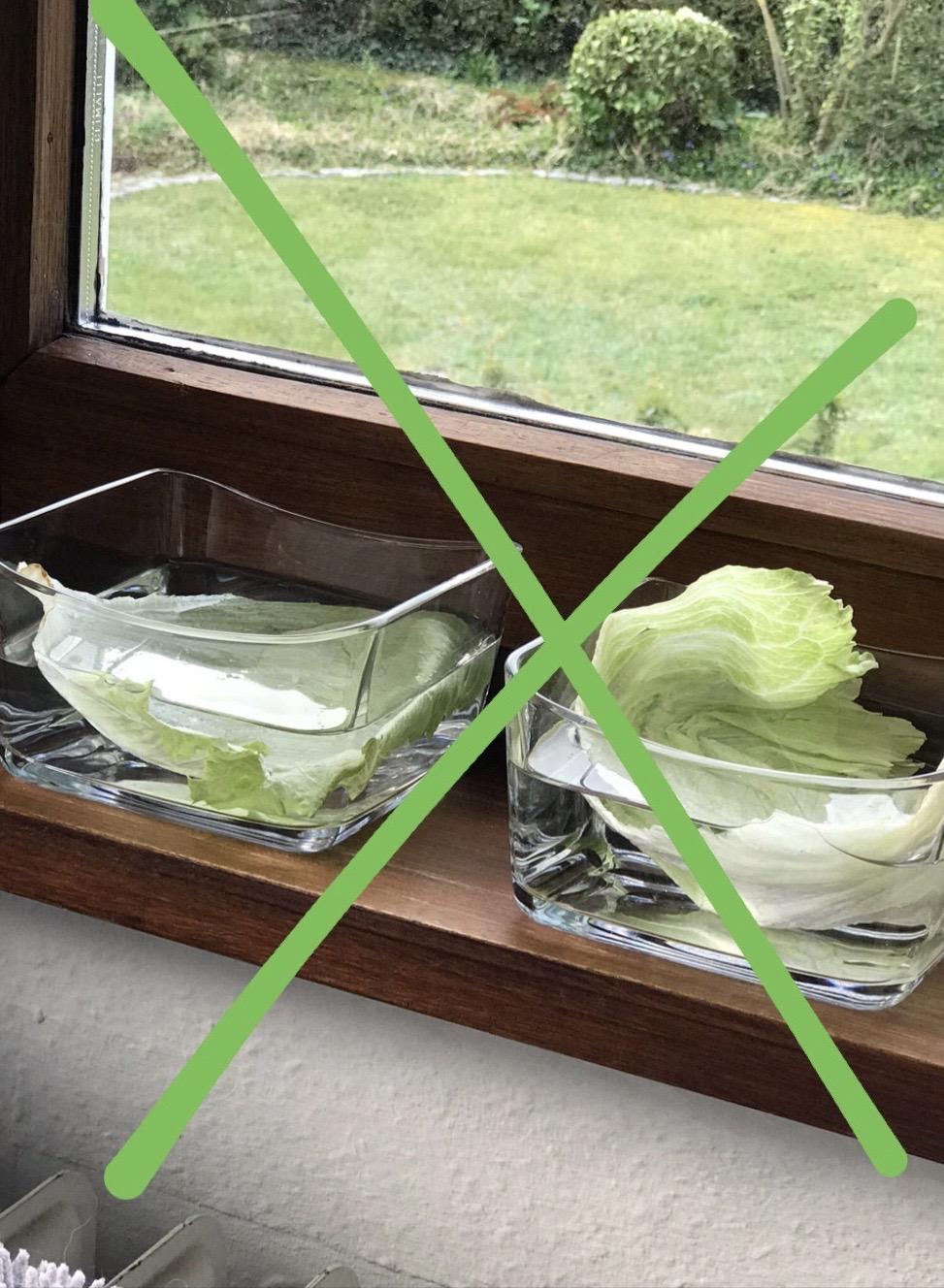 Eisbergsalat züchten aus alten Salatblättern