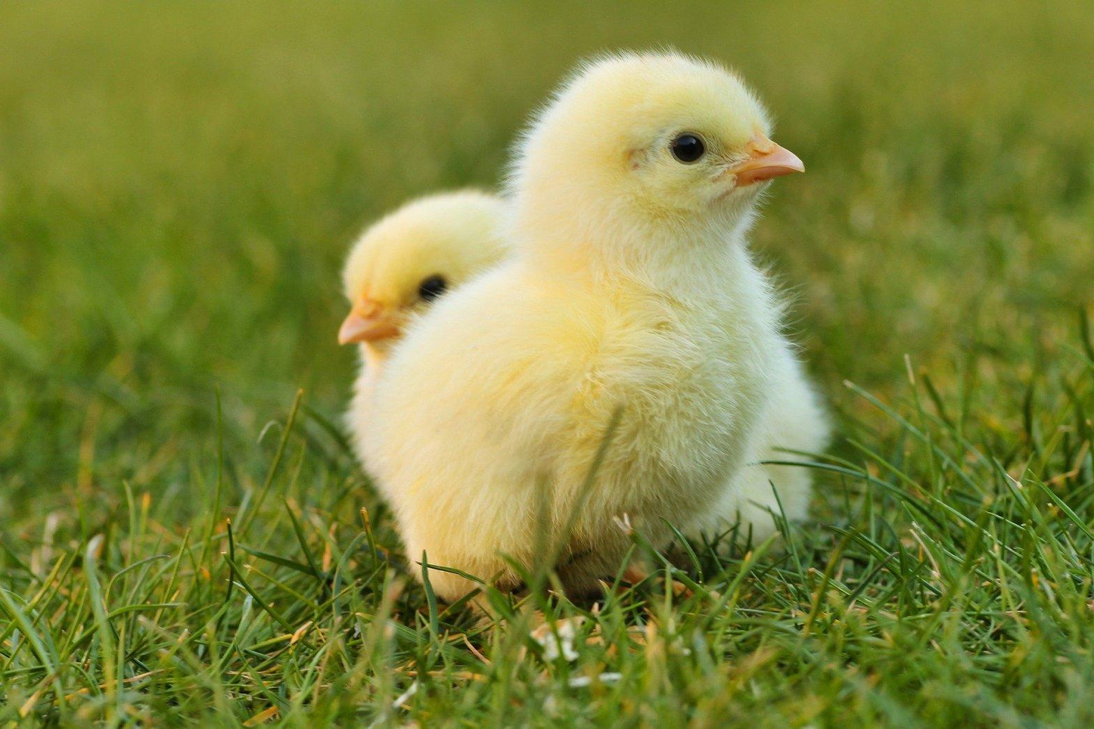 Soll ich Hühner halten?