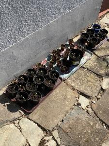 Tomatenpflanzen pikierte Tomaten auf Tabletts Eisheilige Gewächshaus Kaufargument für Gewächshaus