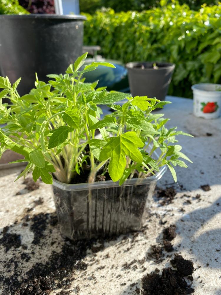 Tomaten pflanzen und pikieren