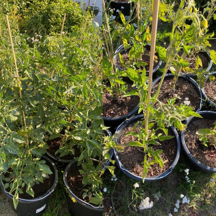 Tomaten im Topf: Drainage vs. keine Drainage