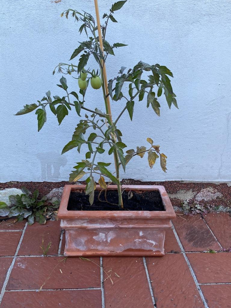 Noch eine Bonsai-Tomate zum Abschluss: Auch hier könnte ihr erkennen, dass sie Blüten hat und Früchte trägt, obwohl sie in einem Topf wächst, der für die Pflanze eigentlich viel zu klein ist.