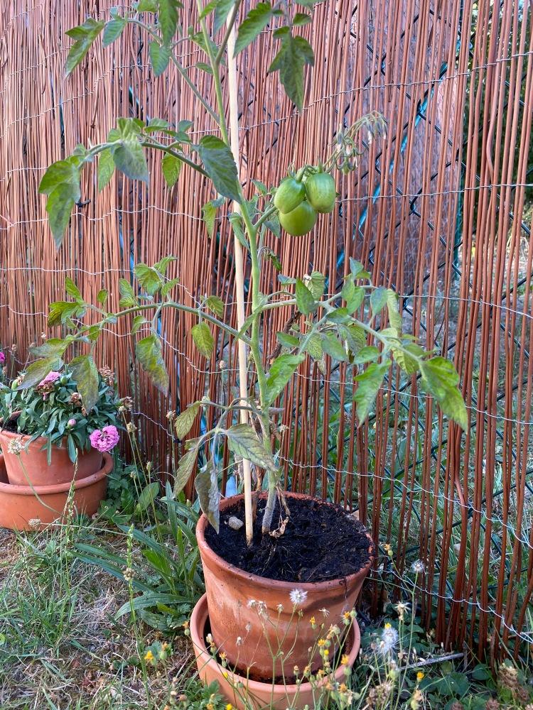 Tomate im zu kleinen Topf