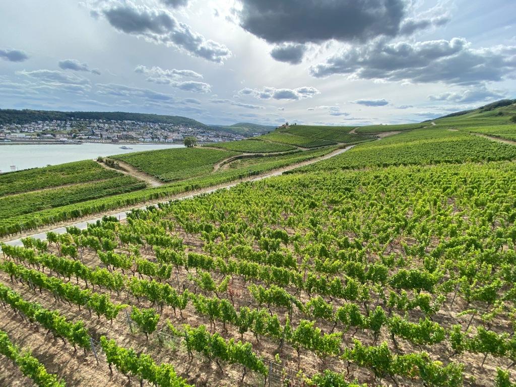 privat Wein anbauen: Weinreben am Rhein Weinberg