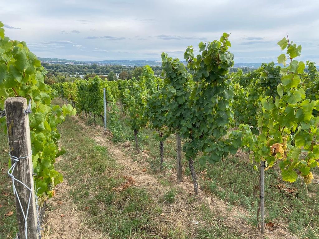 Weinreben: Wein anbeuen im eigenen Garten ist aufwändig