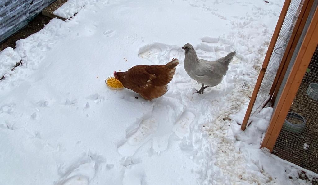 Hühner im Winter beim Mais Essen