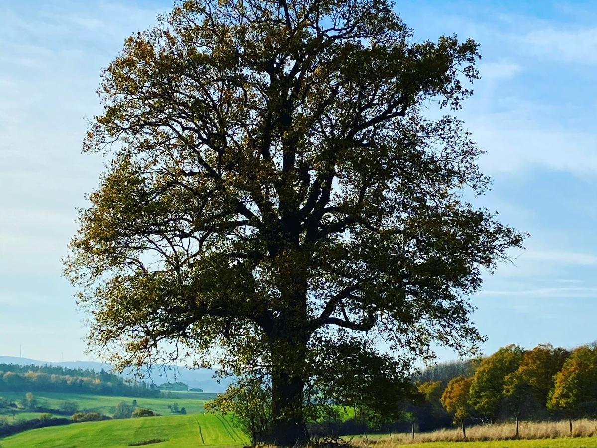 Baum auf einem Feld