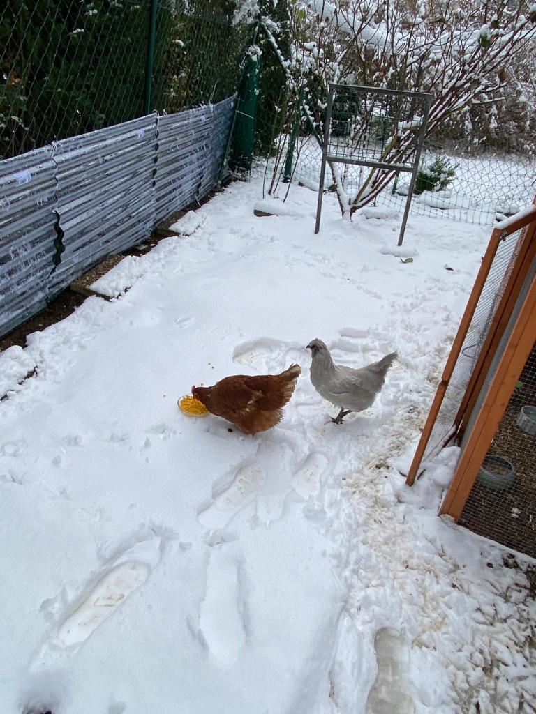 Hühner im Schnee beim Mais essen
